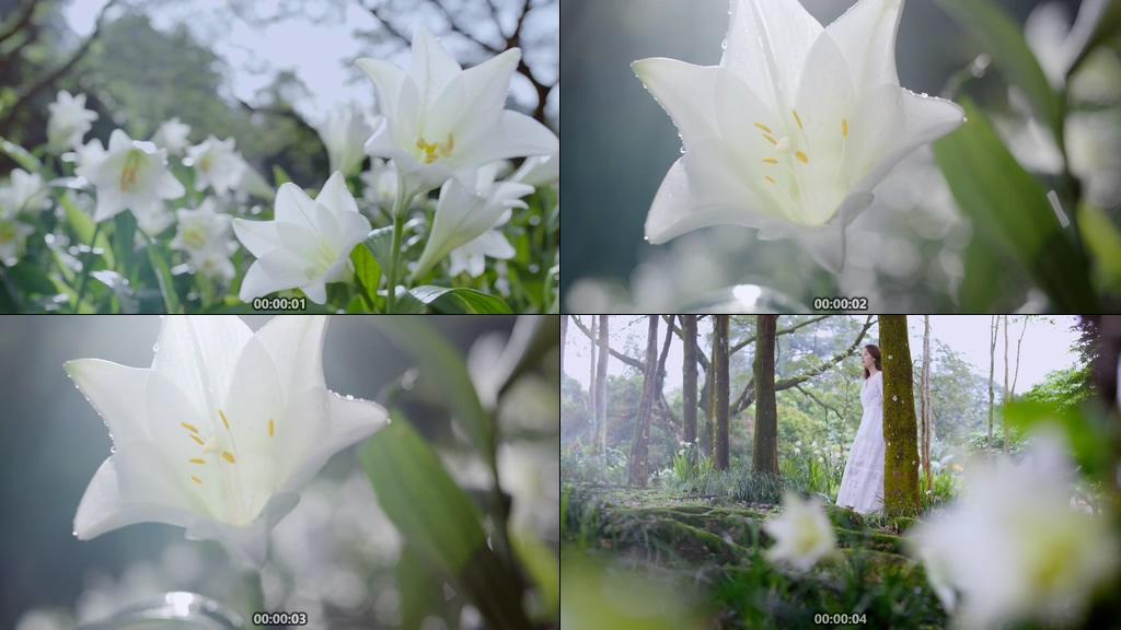 鲜艳的百合花视频素材