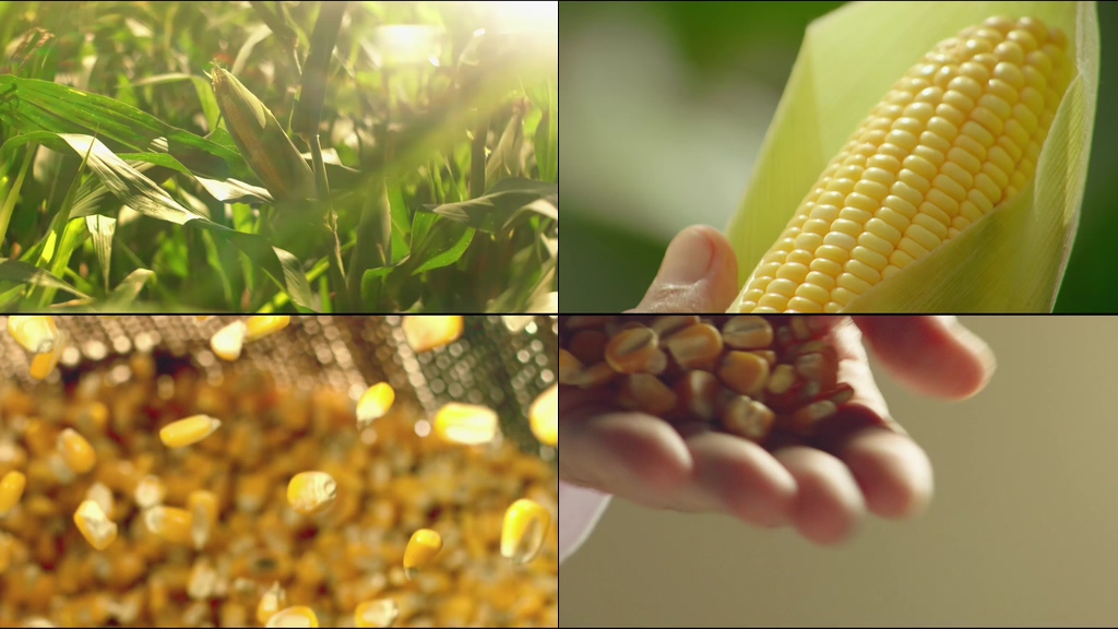 玉米丰收视频素材