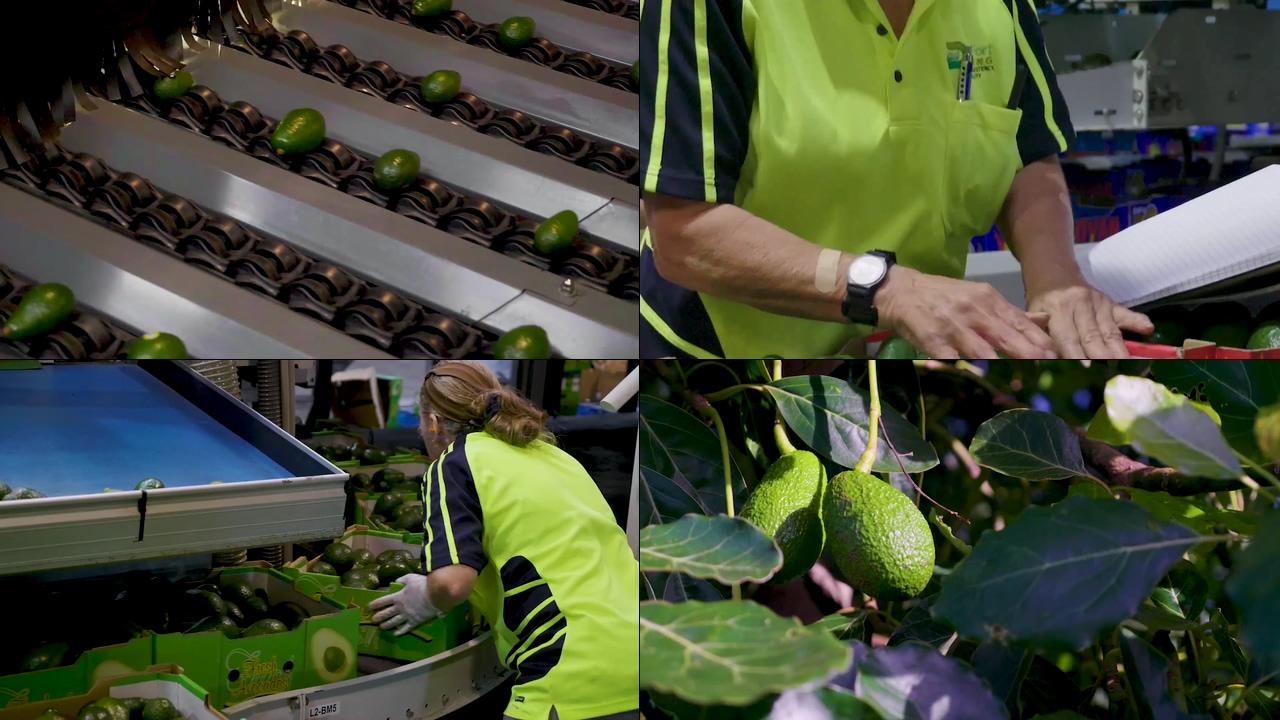 牛油果加工生产视频素材