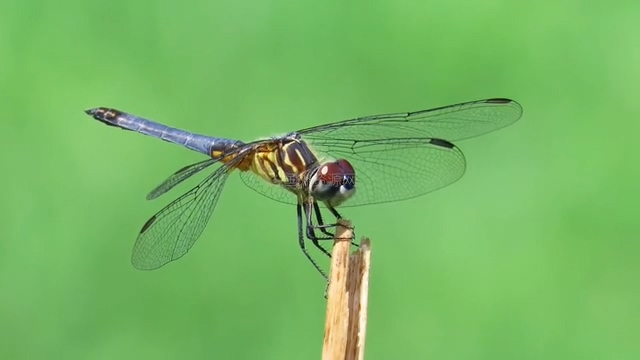 蜻蜓视频素材