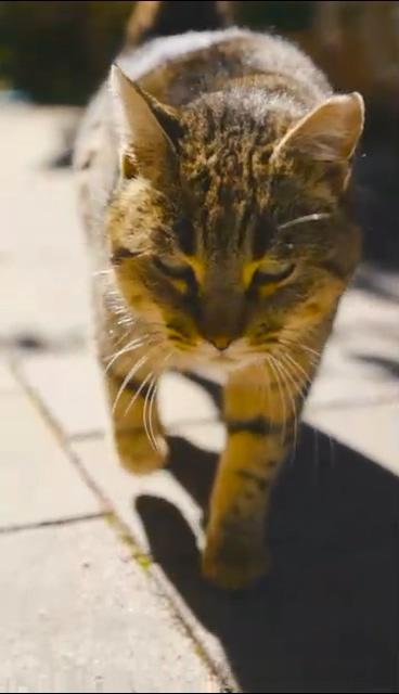 走过来的猫咪有点凶