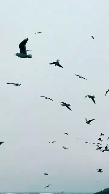 在天空中飞行的海鸥竖屏