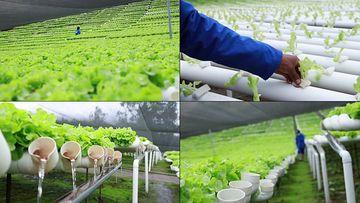 大棚蔬菜无土栽培视频素材
