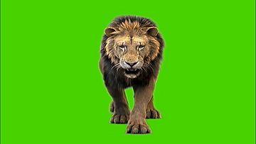 走向镜头的狮子绿幕素材