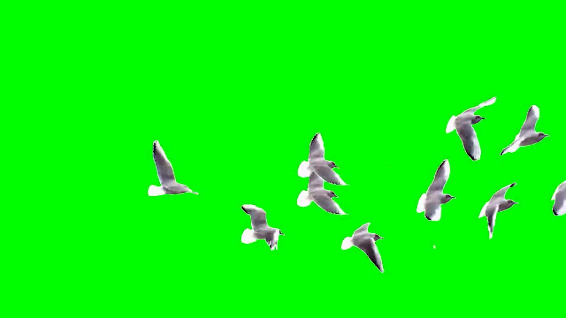 一群鸽子飞过屏幕绿幕素材