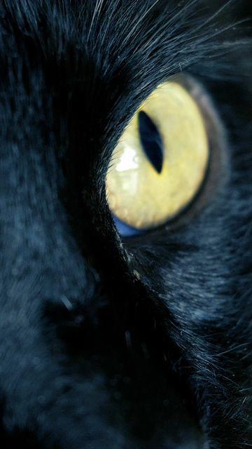 黄眼睛的黑猫视频素材