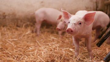 4K可爱的小猪耳朵竖视频素材