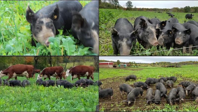 野生放养的黑猪视频素材