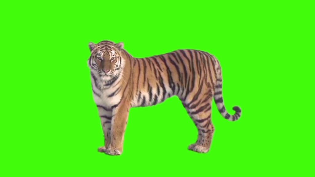 老虎绿幕视频素材