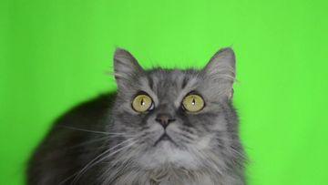 长毛猫咪绿幕视频素材
