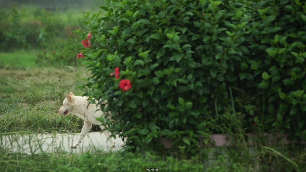 中国农村的土狗视频素材