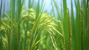 绿色的稻穗虚化视频素材