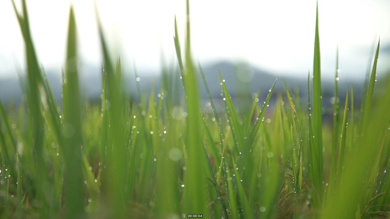 绿油油的稻田水稻叶子视频素材
