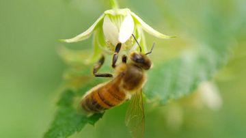 蜜蜂96fps 4K(超高清)视频素材