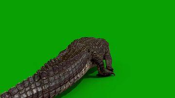 鳄鱼侧面行走绿幕视频素材