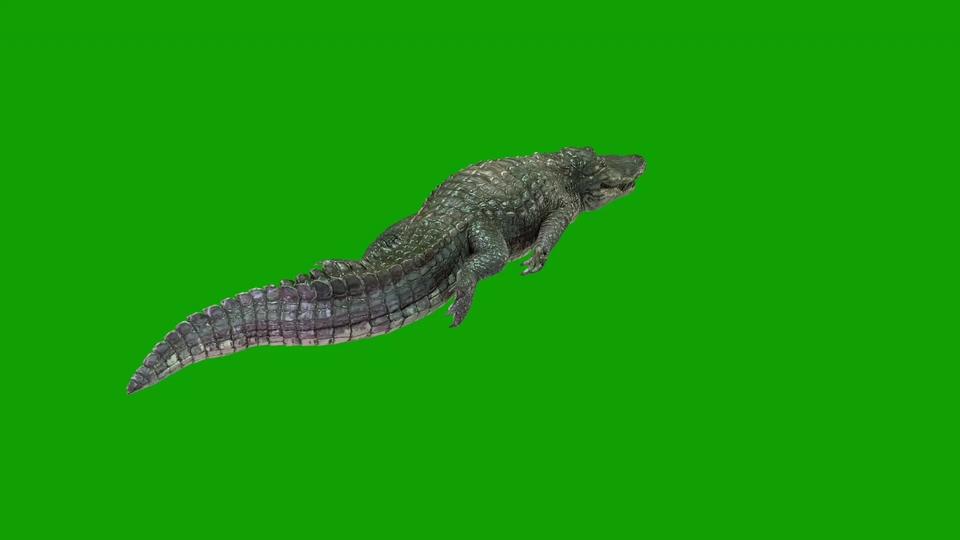 鳄鱼在水里游绿幕视频素材