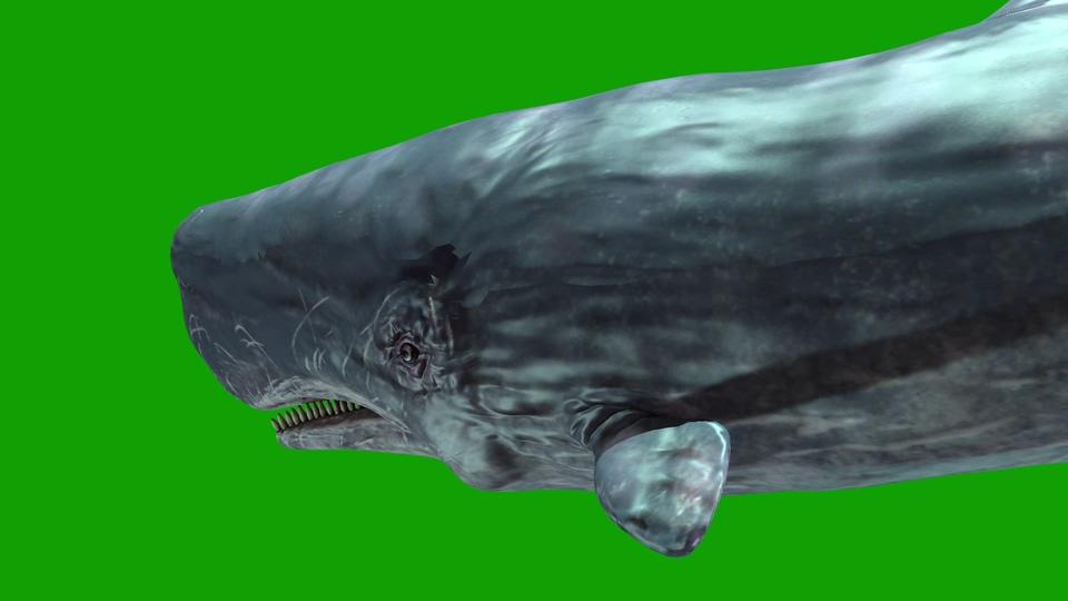 抹香鲸游绿屏2021视频素材
