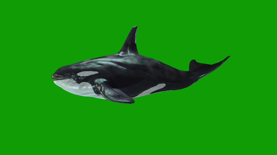 虎鲸游绿屏2021视频素材