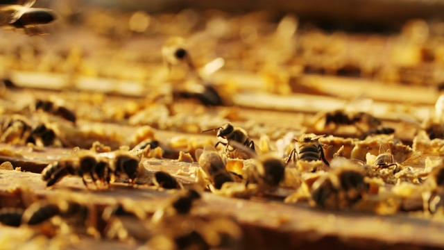 4K蜜蜂翩翩起舞视频素材