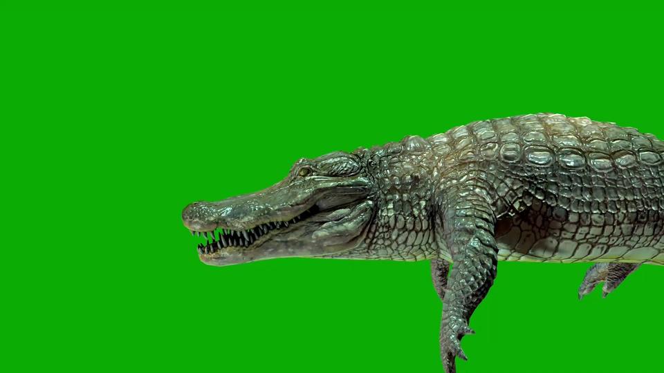 鳄鱼撕咬进食绿幕视频素材一组