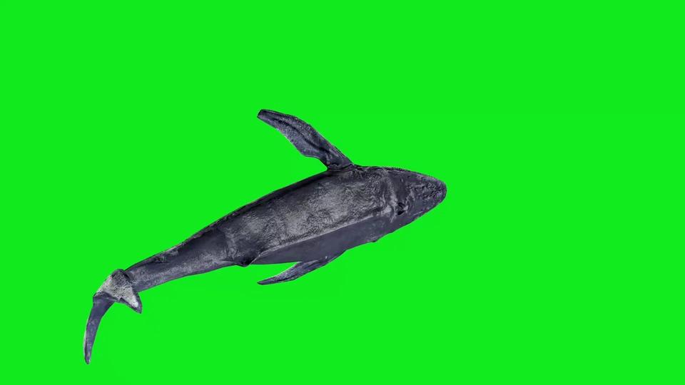 鲸鱼绿幕视频素材一组