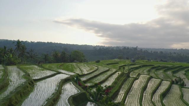 4K泰国清晨的水稻田视频素材