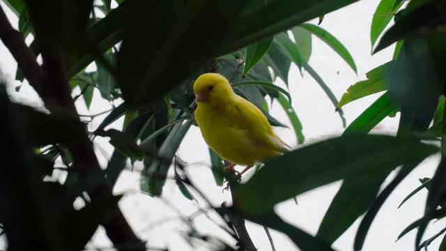阴天树枝上一直金黄色的鸟视频