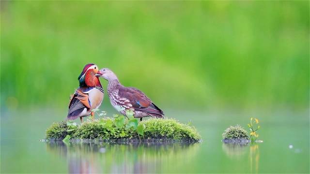 唯美小清新湖中央的一对鸳鸯视频