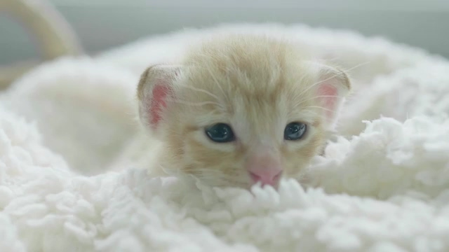 在窝里可爱的小白猫咪免费视频