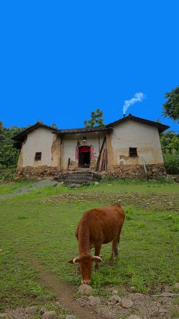 农村老房子前在吃草的黄牛视频