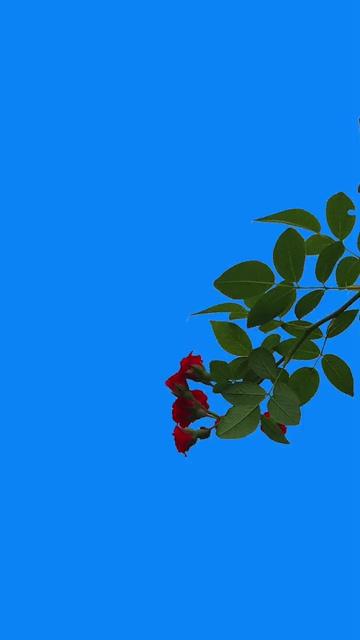 屏幕右边一支玫瑰花树杈视频