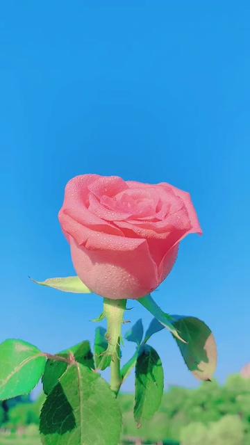 手机壁纸_一朵粉红色的玫瑰花竖屏视频
