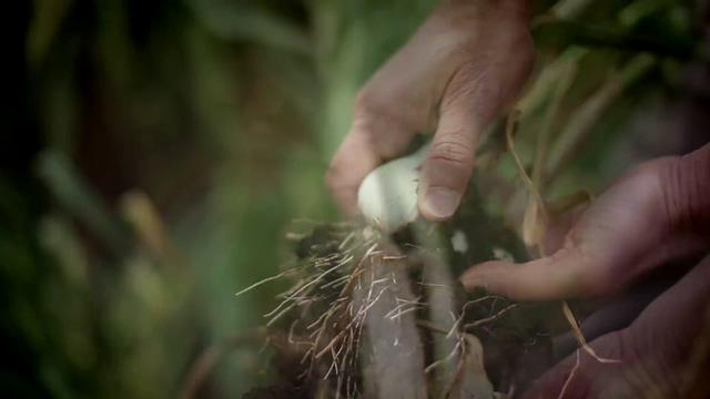 大蒜种植视频素材