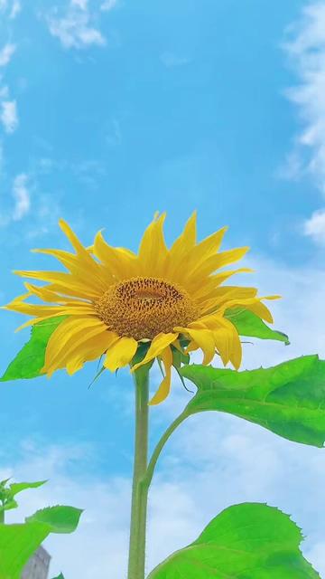 动态壁纸_蓝天白云下的向日葵竖屏