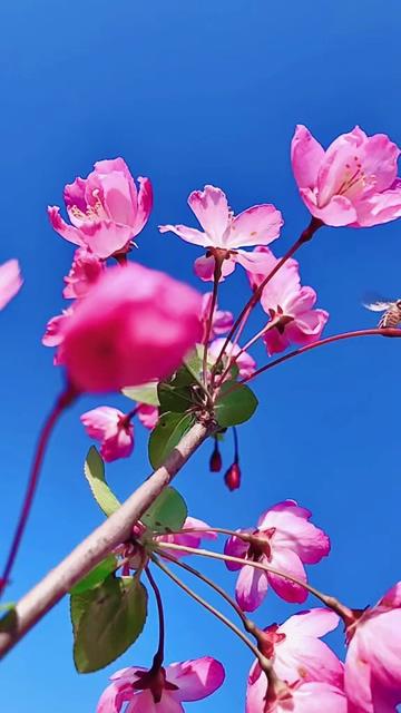 粉红色的梅花和蜜蜂动态壁纸