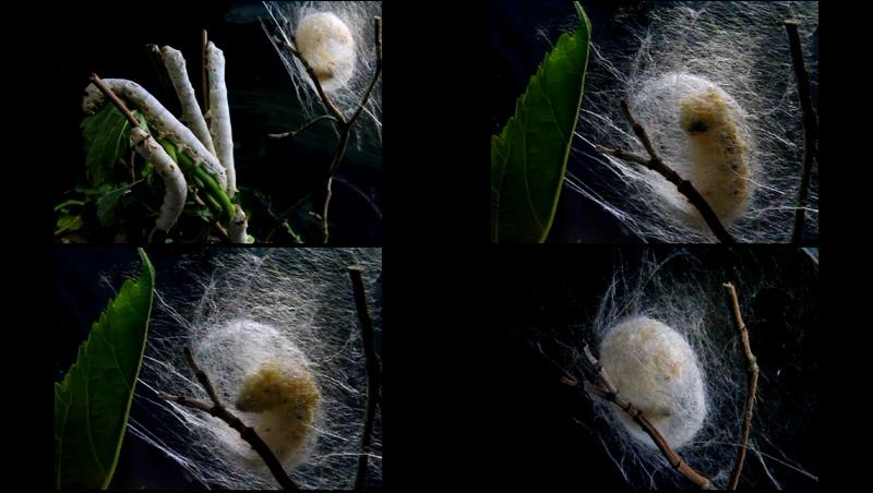 蚕吐丝成蛹过程视频素材
