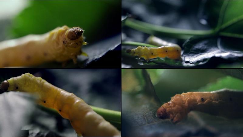 高画质蚕吃桑叶视频