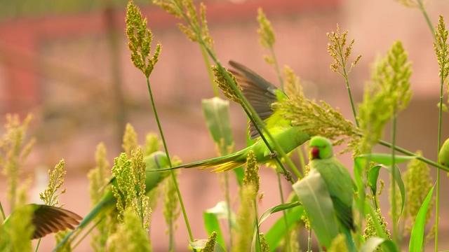 多个品种的鹦鹉视频素材