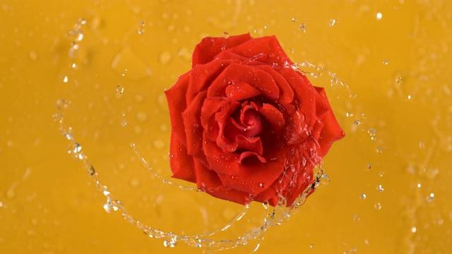 4K黄色背景前一朵旋转的水玫瑰视频素材