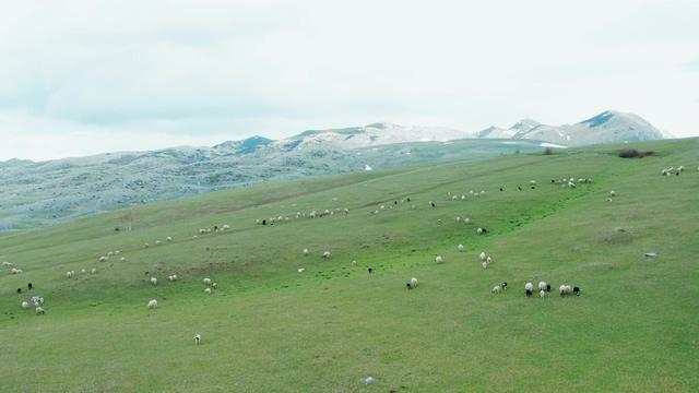 4K山坡上吃草的绵羊视频素材