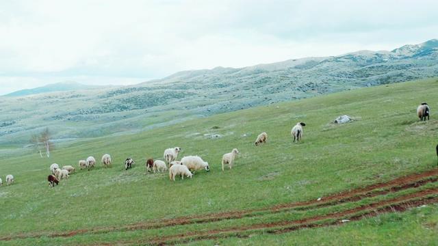 4K山坡上的绵羊中景视频素材