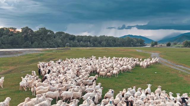 4K草地上的羊群视频素材