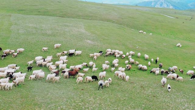 4K航拍草地上的羊群视频素材