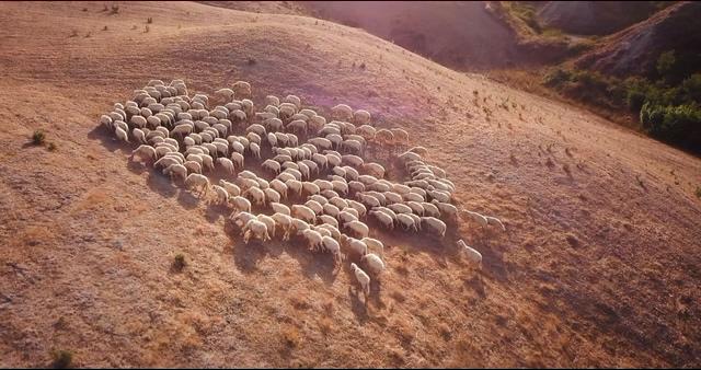 4K航拍傍晚山坡上的羊群视频素材