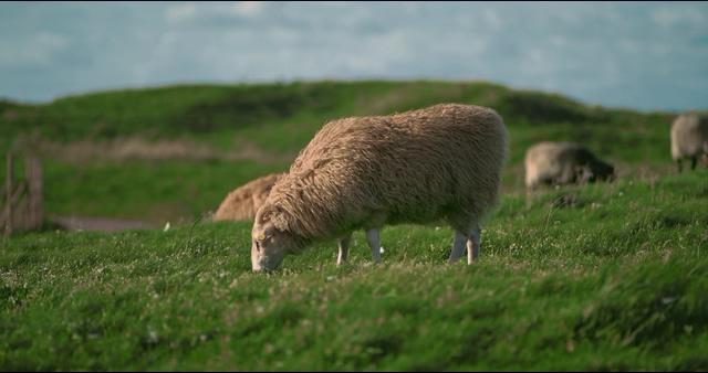 4k在草地上吃草的绵羊视频素材
