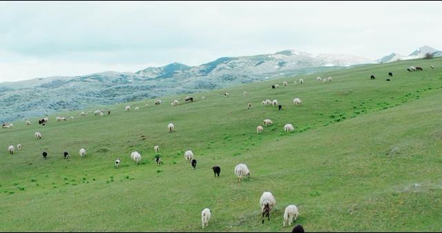 4K航拍草坪上吃草的羊群视频