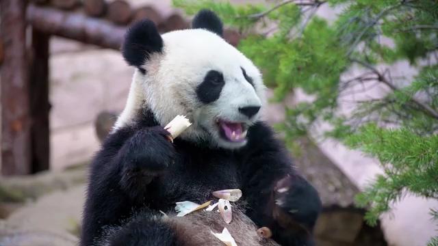 大熊猫吃竹笋免费视频素材下载