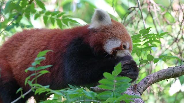 小熊猫免费视频素材