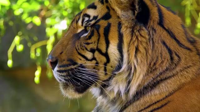老虎张口免费视频素材下载