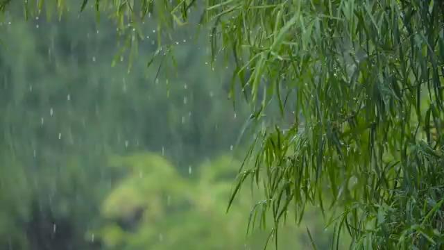 下雨天竹林竹叶滴水视频素材免费